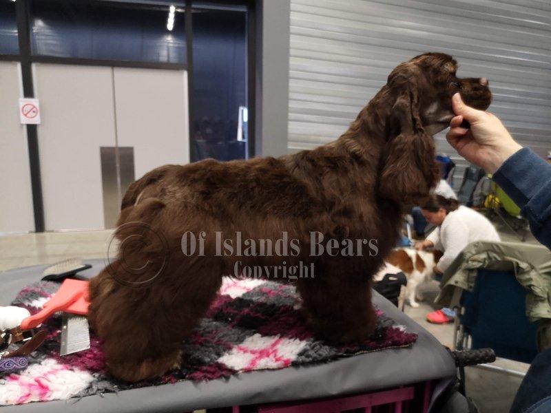 So Cute Of Islands Bears Cocker Américain chocolat et feu