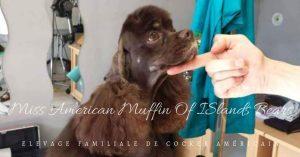 Miss American Muffin Of Islands Bears Cocker américain chocolat et feu