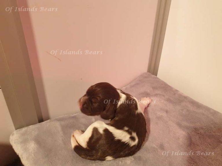 Tehani Femelle tricolor chocolat