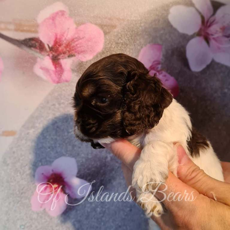 Chiot cocker américain tricolor chocolat Truly Love