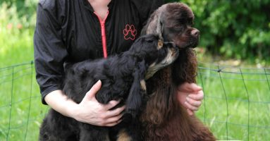 Cortes Cocker américain chocolat et sont fils D'Jazz à l'élevage Of Islands Bears